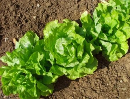 Alface é uma das verduras de novembro! imagem
